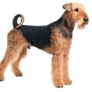 آیردل تریر Airedale Terrier