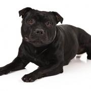 استافوردشایر بول تریر Staffordshire Bull Terrier