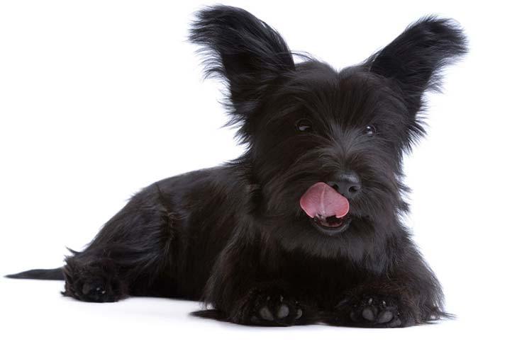 اسکای تریر Skye Terrier