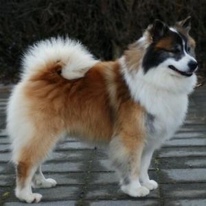 ایسلندیک شیپداگ Icelandic Sheepdog