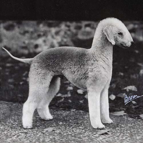 بدلینگتون تریر Bedlington Terrier