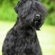 بلک راشن تریر Black Russian Terrier