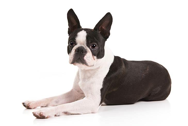 بوستون تریر Boston Terrier