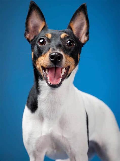 توی فاکس تریر Toy Fox Terrier