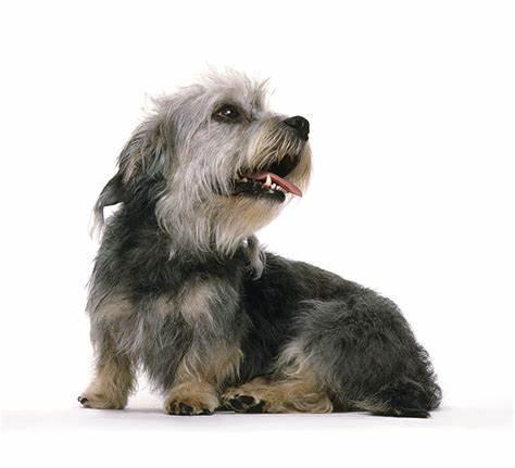 دندی دینمنت تریر Dandie Dinmont Terrier