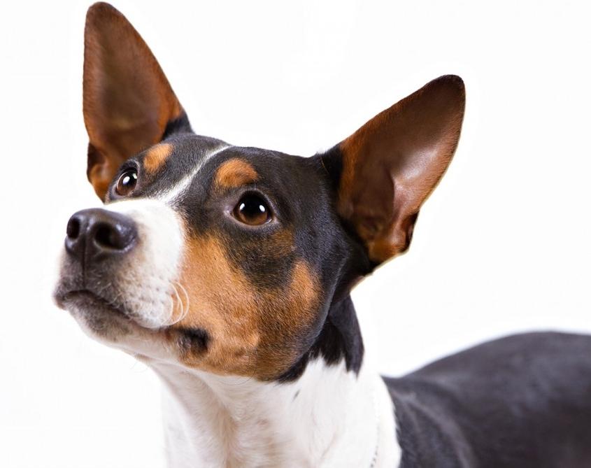 رت تریر Rat Terrier