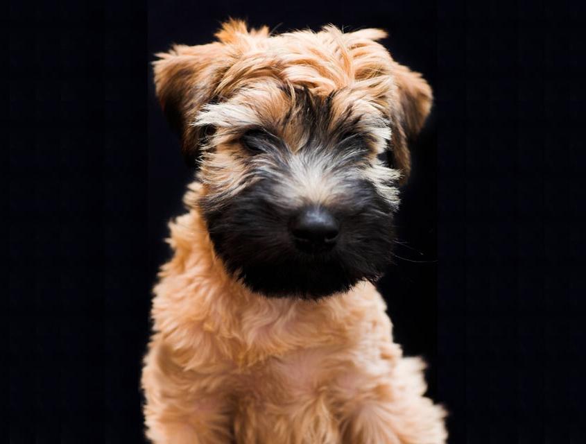 سافت کوتد ویتن تریر Soft Coated Wheaten Terrier