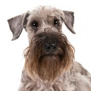 سسکی تریر Cesky Terrier