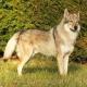 سگ گرگ چکسلواکی