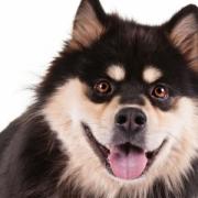 فینیش لفند Finnish Lapphund