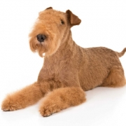 لیکلند تریر | Lakeland Terrier