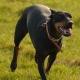 منچستر تریر Manchester Terrier