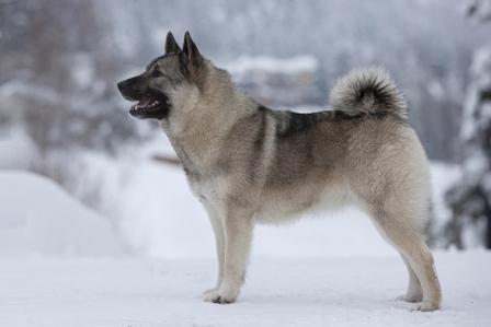 نروژین الکهاند Norwegian Elkhound