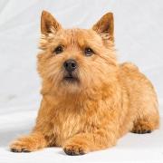 Norwich Terrier (نورویچ تریر)