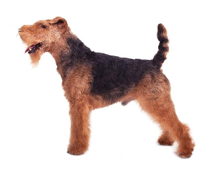 ولش تریر Welsh Terrier