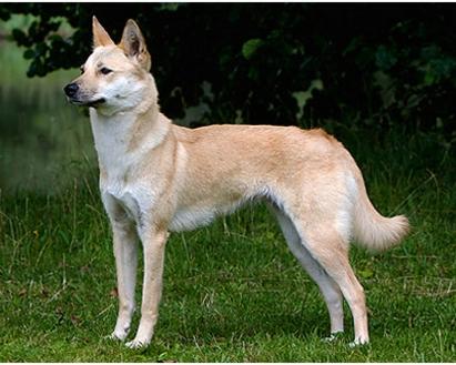 کرین جیندو داگ Korean Jindo Dog