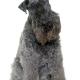 کری بلو تریر Kerry Blue Terrier
