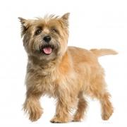 کی رن تریر | Cairn Terrier