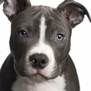 American Pit Bull Terrier(پیت بول تریر)