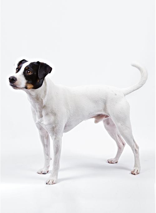 سگ مزرعه دانمارکی سوئدی