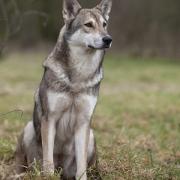 سگ گرگی سارلوس