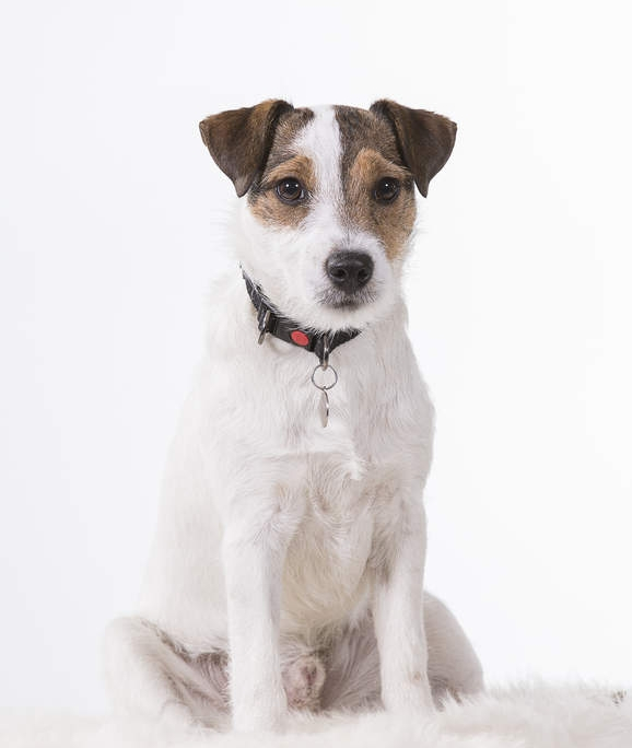 person russel terrierپارسن راسل تریر