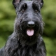 scottish terrier اسکاتیش تریر