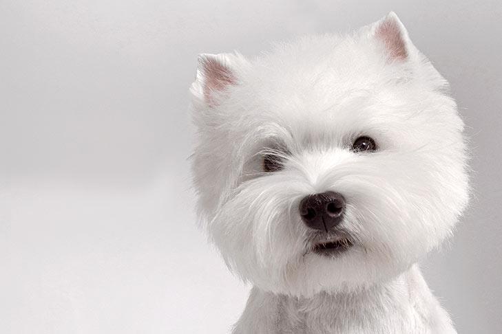 west highland white terrierوست هایلند وایت تریر