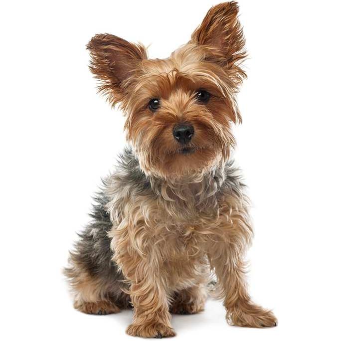 yorkshire terrierیورکشایر تریر