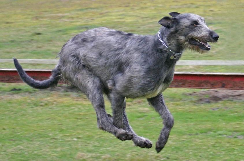 آیریش ولفهاند Irish Wolfhound