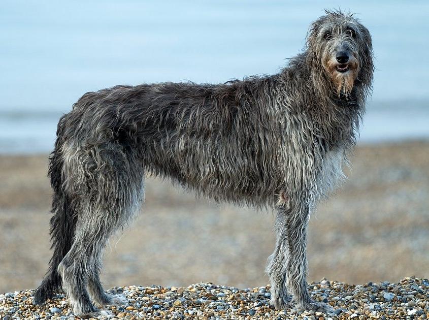 اسکاتیش دیرهاند Scottish Deerhound