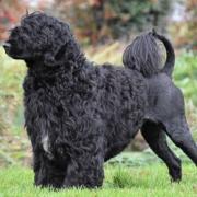پرتگیز واتر داگ Portuguese Water Dog
