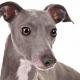 گریهاند Greyhound