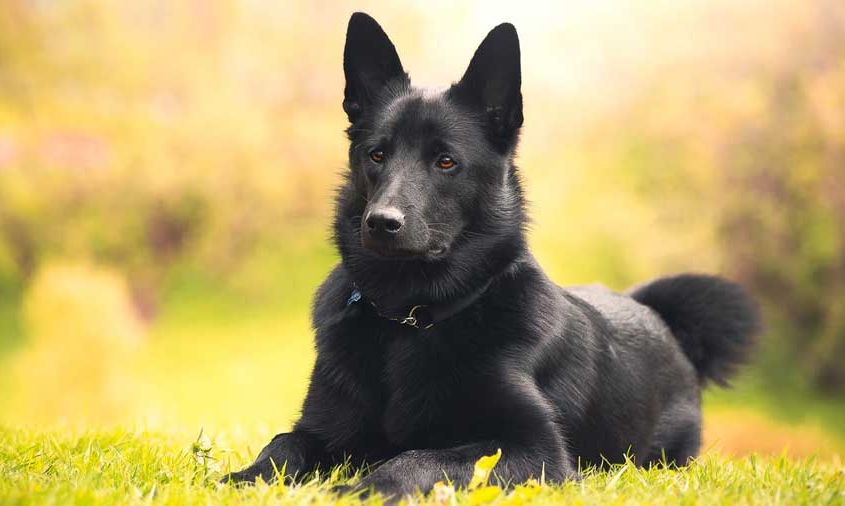 Black-Norwegian-Elkhound-بلک نوروژین الکهاند