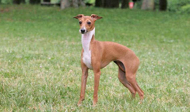 Italian Greyhound (ایتالین گریهاند)
