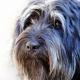 سگ گله پرتغالی