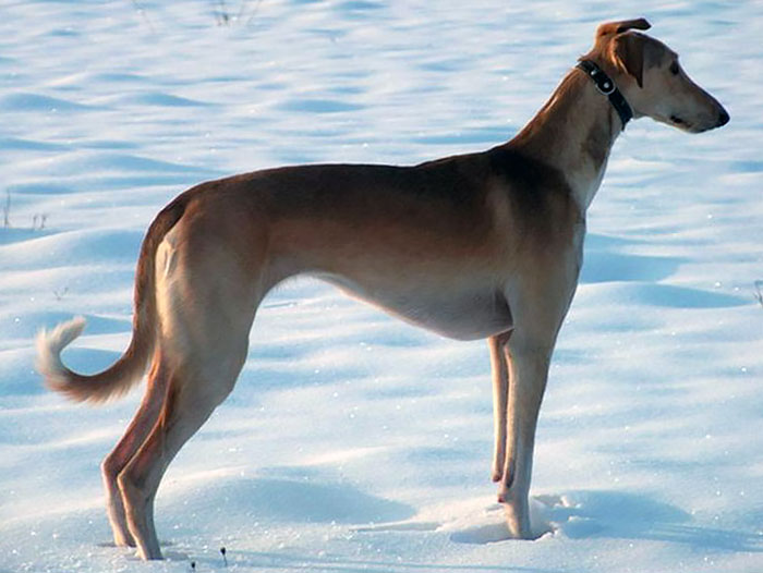 Polish-Greyhound پولیش گریهاند