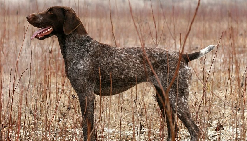 GERMAN SHORTHAIRED POINTER (جرمن شورت هیرد پوینتر)