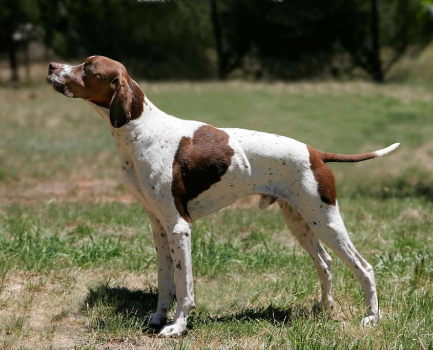 ENGLISH POINTER (انگلیش پوینتر)َ)2