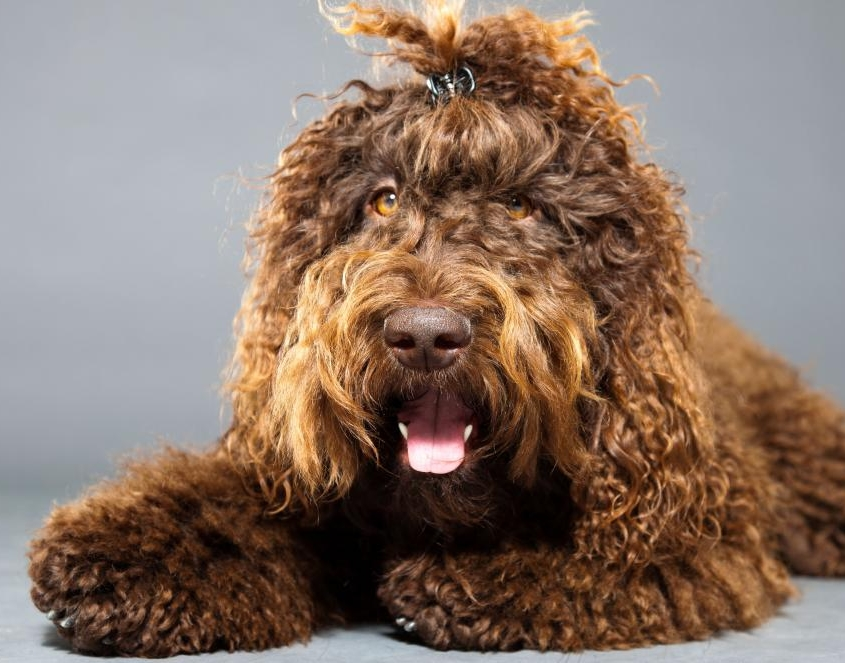 FRENCH WATER DOG (فرنچ واتر داگ)