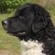 FRISIAN WATER DOG (فریزین واترداگ)