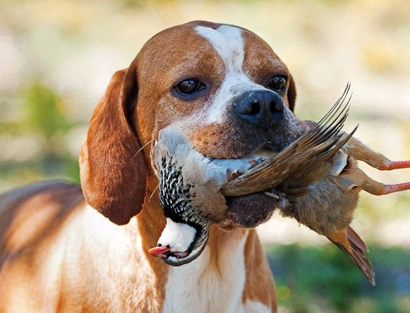 PORTUGUESE POINTING DOG (پوینتینگ پرتغالی)